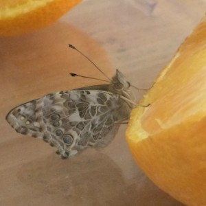 painted lady 1